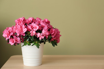 Deurstickers Azalea Pot with beautiful blooming azalea on table against color background