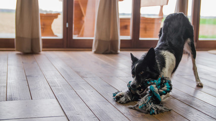 Black and white dog playing with rope toy