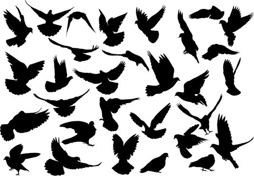 thirty dove silhouettes isolated on white