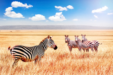 Wall Mural - Group of wild zebras in the African savanna against the beautiful blue sky with white clouds. Wildlife of Africa. Tanzania. Serengeti national park. African landscape.