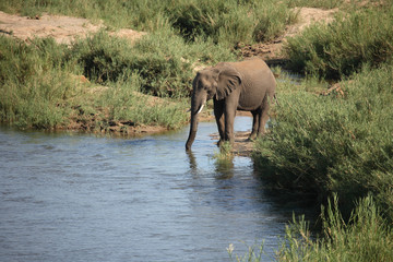 Foto auf Acrylglas Elefant Afrikanischer Elefant Im Olifants River / African elephant in Olifants River / Loxodonta africana