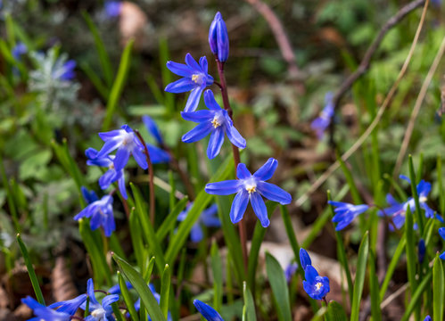 Blue star ground cover plant