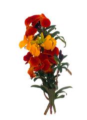 Erysimum aka Wallflower flowers isolated on white background. Bright and perfumed spring garden plants. Orange and yellow.