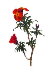 Erysimum aka Wallflower flowers isolated on white background. Bright and perfumed spring garden plants. Deep orange rust colour.