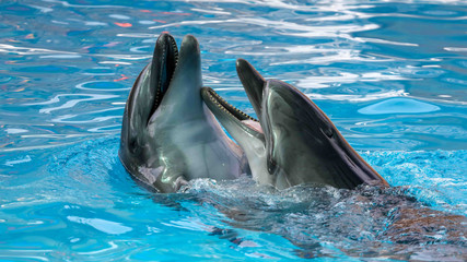 Photo sur Aluminium Dauphins Two dolphins cuddle in the water