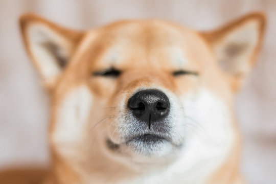 Close up portrait of a Shiba inu dog. Selective focus. Dog nose. Front view
