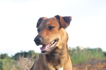 cachorro amarelo feliz