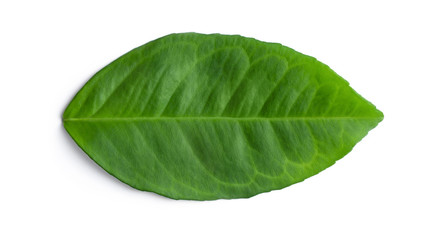 Green natural leaf isolated on white. Fresh avocado leaf bright rich color with streaks. Closeup of a horizontally positioned, a top view. Outer side.