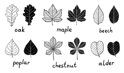 Set of black silhouettes and outline leaves isolated on white background. Oak, maple, poplar, beech, chestnut, alder foliage for your design. Hand drawn art.