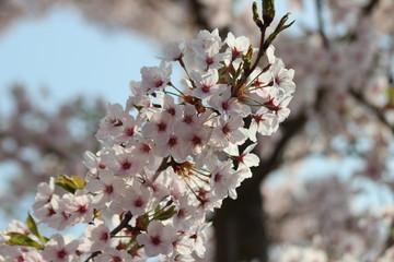 White and pink blossom flowers at the prunus tree in the sun in Nieuwerkerk aan den IJssel