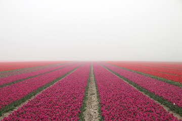 Purple tulips in rows on  a flowerbulb field in Nieuwe-Tonge in the netherlands during springtime season and fog