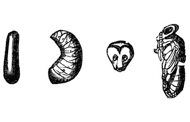 Vintage Vector Drawing or Antique Engraving Illustration of Stages of Development of Honey Bee Pupae - Egg and Larvae