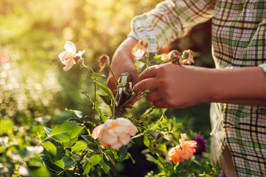 Senior woman gathering dry flowers in garden. Middle-aged woman cutting roses off. Gardening concept