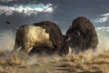 Two massive American buffalo go head to head, literally.  The two great bison crash into each other and lock horns.  They kick up a cloud of dust as they fight.  3D Rendering