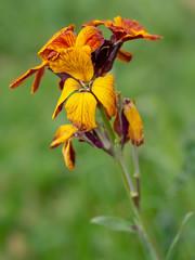 Erysimum aka Wallflower flowers outdoors. Bright and perfumed spring garden plants. Defocussed background.