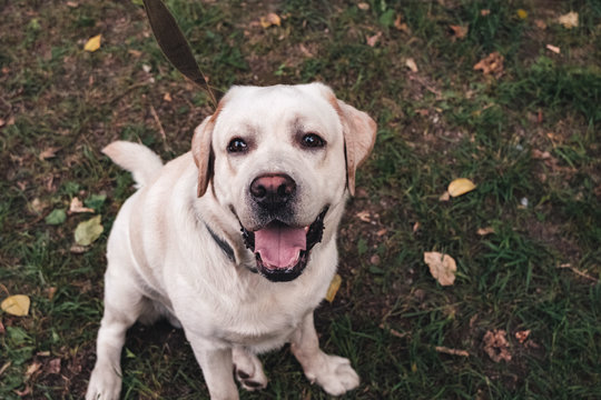 Labrador retriever dog stands in the park looking up with his mouth open