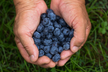 old man with handful of freshly picked blueberries. Fresh blue berries fruits presented in girl hands. Conceptual picture for healthy vegetarian lifestyle.