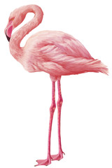 Foto op Aluminium Flamingo Bright drawn american flamingo isolated