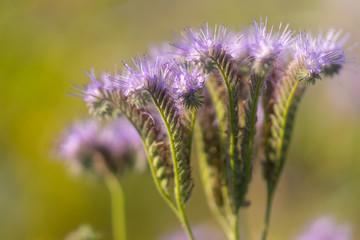 Nahaufnahme einer violetten Phacelia Blüte