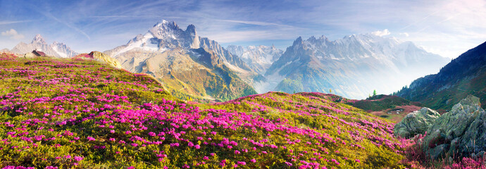 Wall Mural - Alpine rhododendrons on the mountain fields of Chamonix
