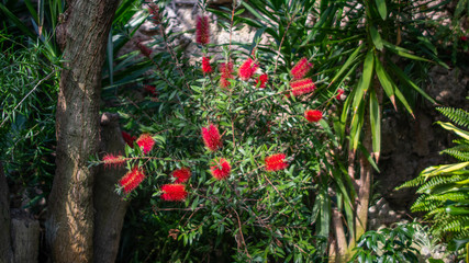 Obraz czerwony krzew  - fototapety do salonu