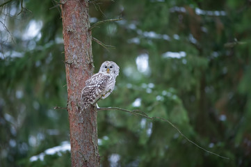 Fototapete - Tawny owl sitting on branch in dark forest