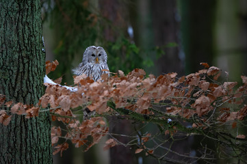 Wall Mural - Tawny owl sitting on branch between orange leaves in dark forest