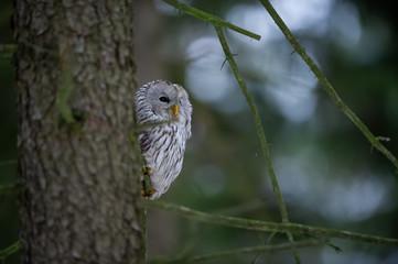 Wall Mural - Closeup tawny owl hidding behing tree trunk