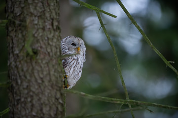 Fototapete - Closeup tawny owl hidding behing tree trunk