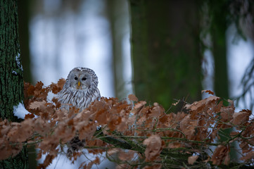 Tawny owl sitting on branch between orange leaves with light in background