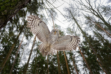 Wall Mural - Tawny owl flying above camera with tree trunks and sky
