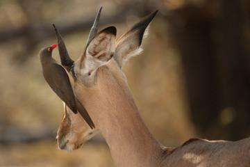 Schwarzfersenantilope und Rotschnabel-Madenhacker / Impala and Red-billed oxpecker / Aepyceros melampus et Buphagus erythrorhynchus
