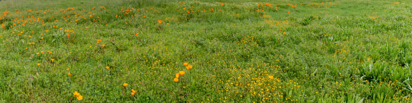 A panoramic of a grassy field with California poppies growing. Other flowers are also growing in this field.