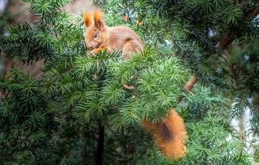 ruda wiewiórka na gałęzi cisu