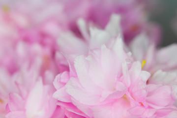 Close Up Macro Of Cherry Tree Pink Blossom