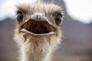 Zelfklevend Fotobehang Struisvogel Ostrich