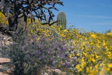 blooming brittlebush and saguaro