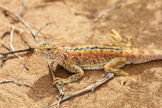 Lizard In The Sand In Gobi Desert, China