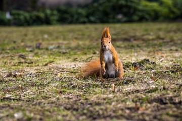 ruda wiewiórka stoi słupka na trawie i patrzy z cikawością