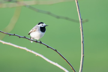 European white wagtail in a bush in front of a lake