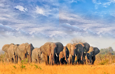 Herd of elephants walking across the dry arid african plains in Hwange National Park, Zimbabwe