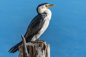 Little Pied Cormorant on post