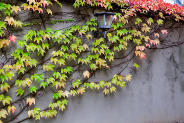 Climbing plant with lantern on the wall