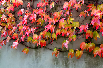 Climbing plant on the wall