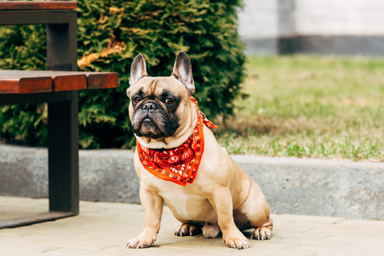 cute french bulldog wearing red scarf and sitting near wooden bench