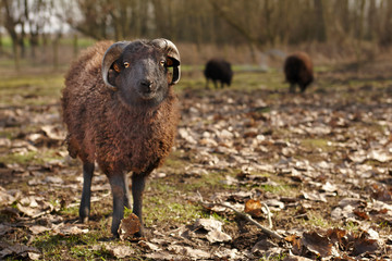 Young black male ouessant sheep in the meadow Wall mural