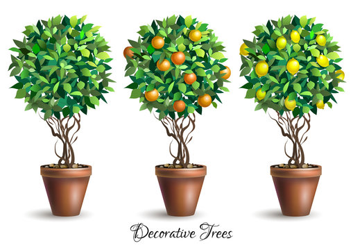Set of decorative trees in pots on white background. Lime tree. Lemon tree. Orange tree. Houseplant. Vector illustration.