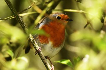 robin perched in tree