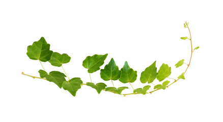 Green leaves of ivy isolated on white