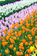 meadow full of spring flowers in Lisse, Netherlands